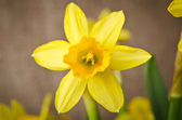 Beautiful yellow daffodil — Stock Photo