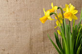 Beautiful yellow daffodils  on burlap background — Stock fotografie