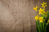 Beautiful yellow daffodils  on burlap background — Stock Photo