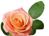 Crème rose geïsoleerd op witte achtergrond — Stockfoto