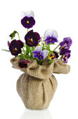 Beautiful pansies in a vase isolated on white background — Stock Photo