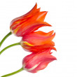 Three beautiful red tulips isolated on white background — Stock Photo #51215355