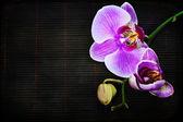 Růžová orchidej — Stock fotografie