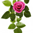 Pink rose — Stock Photo #15853661