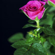 Pink roses — Stock Photo #16914845