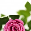 Pink rose — Stock Photo #16923161