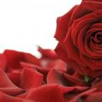 Beautiful Red Rose — Stock Photo #1703589
