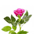 Pink rose — Stock Photo