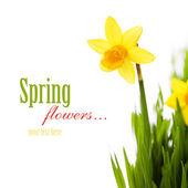 Daffodils in green grass — Stock Photo