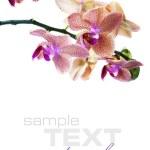 Постер, плакат: Orchid flower