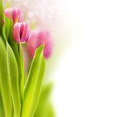 Fresh tulip — Stock Photo