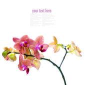 Orchid flower — Foto de Stock