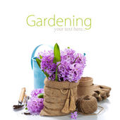 Beautiful Hyacinths and garden tools — Stock Photo