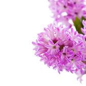 Beautiful Hyacinths — Stock Photo