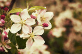 Blossom apples garden in the Spring — Stock Photo