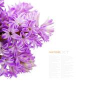 Belos jacintos — Fotografia Stock