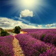 Lavender field — Stock Photo #28560871