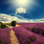 Lavender field — Stock Photo #28560871