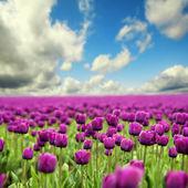 тюльпаны весной — Стоковое фото