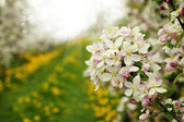 Blossom apples garden in the Spring — Stok fotoğraf