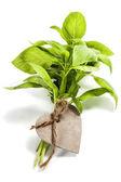 Fesleğen yaprağı — Stok fotoğraf