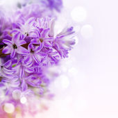 Beautiful Hyacinths — Stock Photo