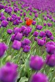 Tulips — Zdjęcie stockowe