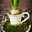 Growing spring flower in a cup — Stock Photo