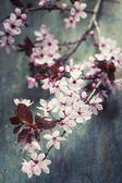 Spring Cherry blossoms — Foto Stock