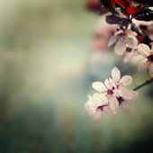 Spring Cherry blossoms — Foto de Stock
