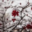 Rowan berries in the snow - Stock Photo