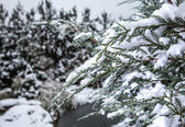 Winter branch covered with snow — Stock Photo
