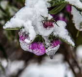 First snow on flowers — Stock Photo