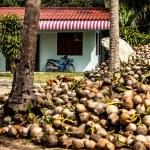 Field of coconut trees — Stock Photo