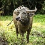 Buffalo in the field — Stock Photo #23723647