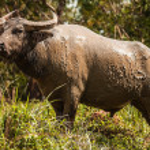 Buffalo in the field — Stock Photo #23724231