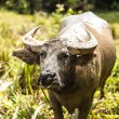 Buffalo in the field — Stock Photo