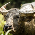 Buffalo in the field — Stock Photo #23724799