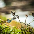 Black butterflies - Stock Photo