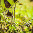 Black butterflies - Foto Stock