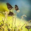 Black butterflies — Foto de Stock