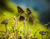 Black butterflies — Stock Photo