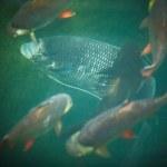 Fish swim on the pond — Stock Photo #23730509