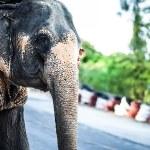 Sri lankan elephant — Stock Photo #23731083