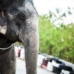 Sri lankan elephant — Stock Photo #23732069