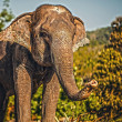 Sri lankan elephant - Stock Photo