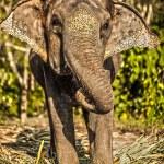 Sri lankan elephant — Stock Photo #23733937