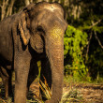 Sri lankan elephant — Stock Photo #23734117