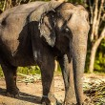 Sri lankan elephant — Stock Photo #23734991