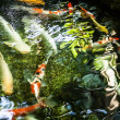 Koi fish swim on pond — Foto de stock #23735789